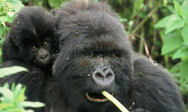 mother-and-baby-gorillas