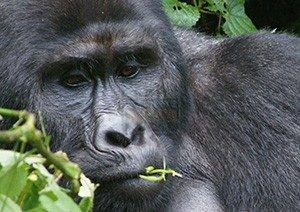 3 Days Cheapest Gorilla Safari Holiday