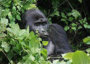 5 Days Uganda Safari Murchison Falls & Bwindi Impenetrable Park