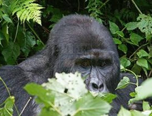 The best guide for gorilla trekking safaris in Uganda – safari News