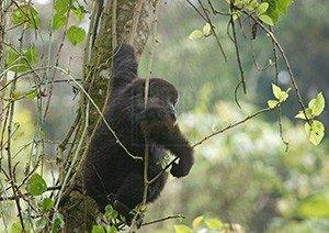 5 Days Uganda Gorilla, Wildlife & Chimpanzee Safari