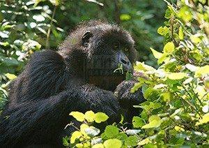 5 Days Uganda Gorilla trekking and Wildlife Tour