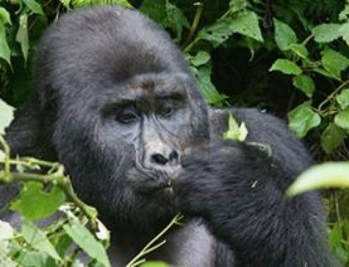 Uganda's best gorilla safari experience! Meet Silver & Gold in Mgahinga  – Uganda safari News
