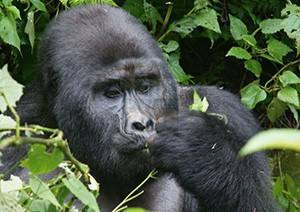 5 Days Uganda Gorilla Trekking Wildlife & Chimpanzee Safari