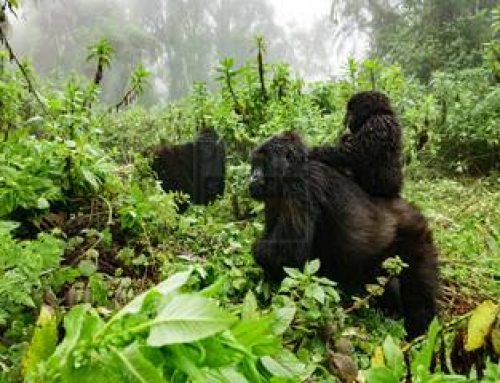 1 Day Mgahinga Gorilla Trekking Safari Uganda Gorilla Safari / 1 Day Uganda Gorilla Trekking Safari in Mgahinga Gorilla Park- Uganda Safari News
