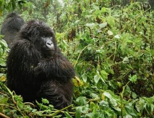 A Uganda Gorilla Safari Still Remains an Affordable Venture Despite The Newly Announced Increase In Gorilla Permits Fees- Uganda Safari News