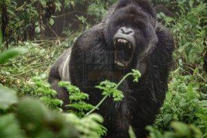 6 Days Gorilla Trekking Safari Uganda chimpanzee tracking tour