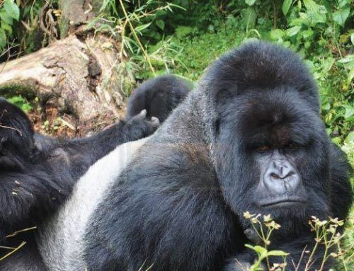 Uganda gorilla trekking permits gradually rise in number – Uganda safari News