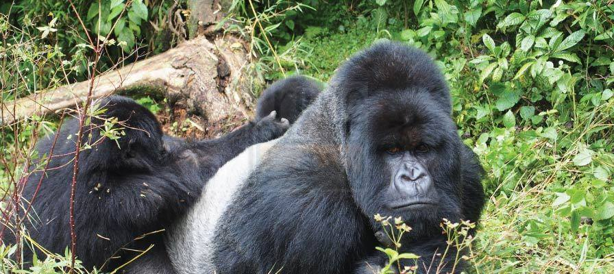 Long Uganda Gorilla Trekking Safaris Tours