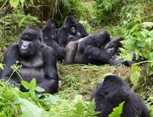 Courtship and Mating in Mountain Gorillas – Uganda Safari News