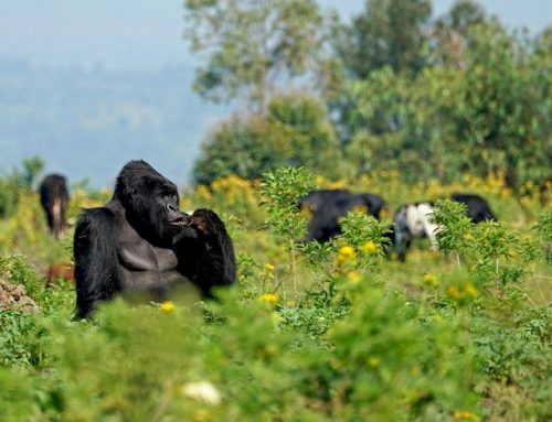 Things done to ensure tourists see mountain gorillas – Uganda safari News