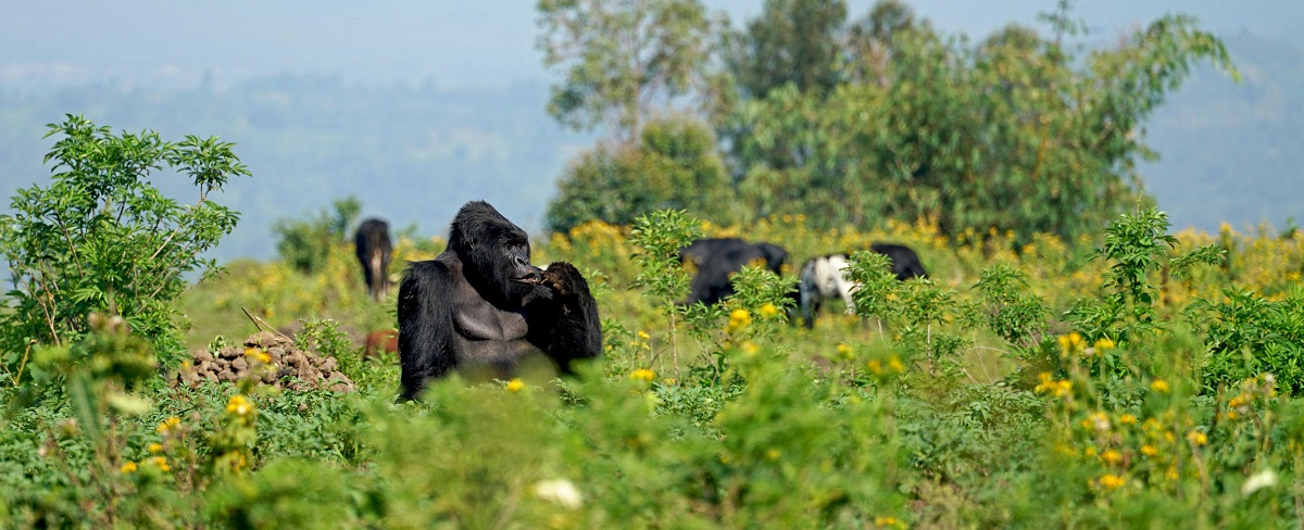subordinate younger male silverback on a field