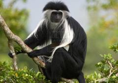 black-colombus-monkey