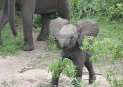 elephants-in-queen-elizabeth