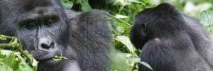 Uganda rwanda gorilla trekking safaris
