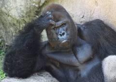 gorilla-trekking-silver-back