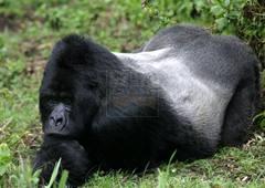 silver-back-in-bwindi-in-uganda