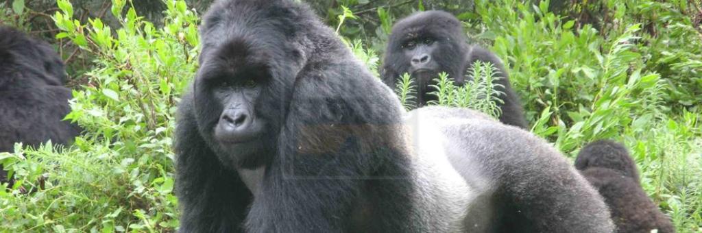 Gorilla trekking Uganda and Rwanda