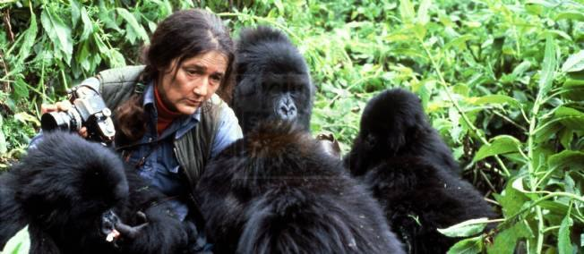 Gorilla habituation Uganda