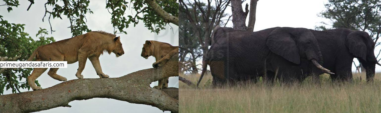 elephant-and-lion uganda safaris