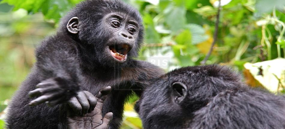 8 Days Gorilla Trekking Safari Uganda Rwanda Culture & Chimpanzee Tracking Tour