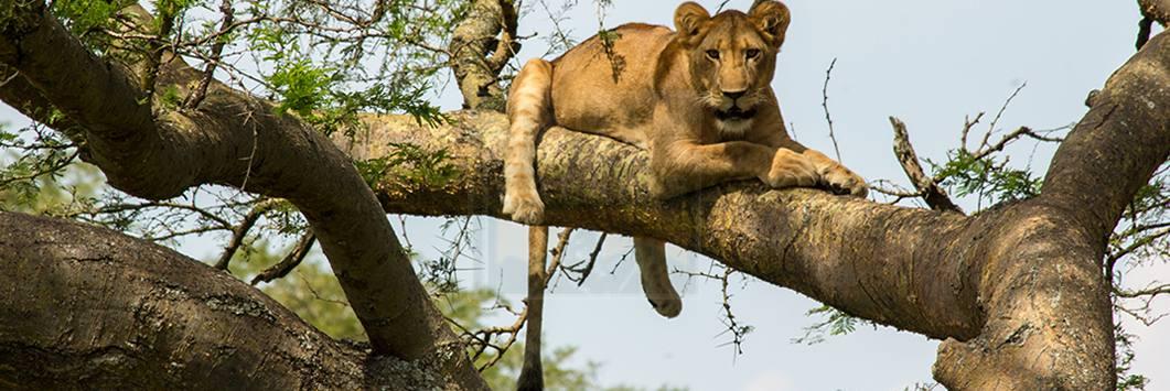 ishasha-tree-climbing-lions1