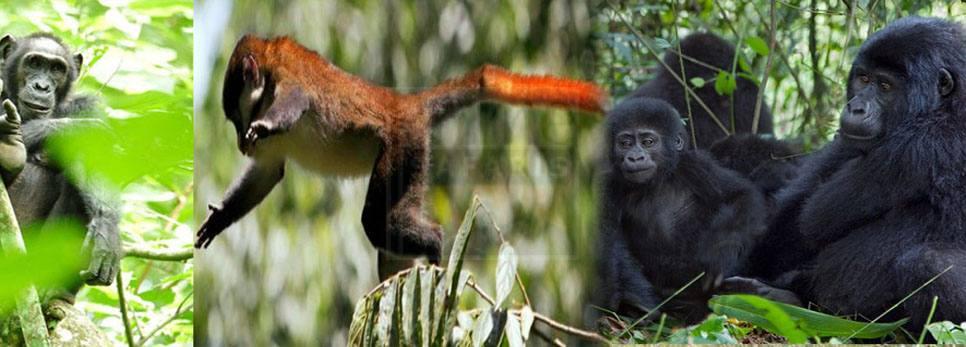 primates-of-uganda