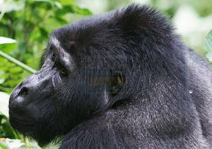 3-days-bwindi-gorilla-trek-safari