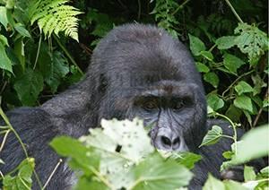 The best guide for gorilla trekking safaris in Uganda – safari News