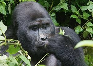 5 Days Uganda Gorilla Trekking Wildlife & Chimpanzee Safari