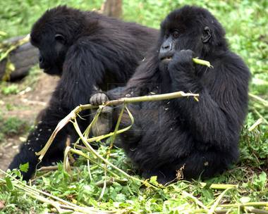 Reasons why interacting with a gorilla family is just one hour – Uganda safari News