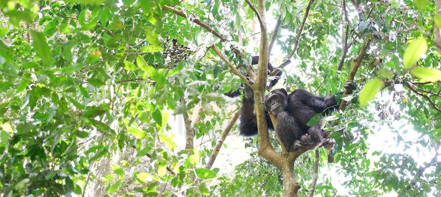 11 days gorilla trekking safari Uganda Rwanda chimpanzee tracking tour