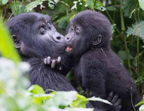 The Expert's Guide For Uganda Gorilla Trekking Safaris