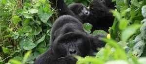gorilla trekking safaris in uganda bwindi impenetrablegorilla trekking safaris in uganda bwindi impenetrable